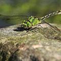 Ophiogomphus cecilia (Grüne Flussjungfer) - Männchen