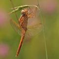 Feuerlibelle (Crocothemis erythraea) - Junges Männchen