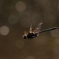 Cordulia aenea (Gemeine Falkenlibelle) - Männchen