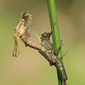 Frühe Adonislibelle (Pyrrhosoma nymphula) - schlüpfendes Weibchen