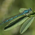 Pokaljungfer (Erythromma lindenii) - Männchen