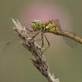 Gemeine Heidelibelle (Sympetrum vulgatum) - Weibchen