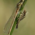 Frühe Adonislibelle (Pyrrhosoma nymphula) - frisch geschlüpftes Weibchen