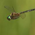 Somatochlora arctica (Arktische Smaragdlibelle) - Männchen