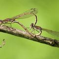 Gemeine Winterlibelle (Sympecma fusca) - Paarungsrad