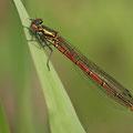 Frühe Adonislibelle (Pyrrhosoma nymphula) - Weibchen