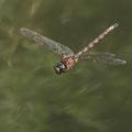 Boyeria irene (Westliche Geisterlibelle) - Männchen