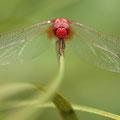 Feuerlibelle (Crocothemis erythraea) - Männchen