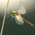 Sumpf-Heidelibelle (Sympetrum depressiusculum) - jüngeres Männchen