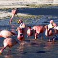 Flamingos an der Laguna Helionda V