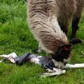 Die Geburt eines Lamas - die ersten Sekunden II