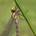 Die ersten Minuten im Leben einer Libelle IV