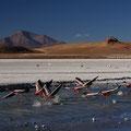 Flamingos an der Laguna Helionda III