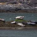 Robben am Strand der Cullins