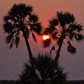 Die Palmen der Palmwag-Lodge 2