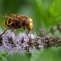 Hornissenschwebfliege III