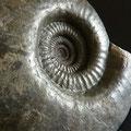Jura-Ammoniten IV