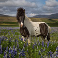 Islandpferd bei Varmahlid