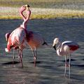 Flamingos an der Laguna Helionda IV
