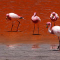 Flamingo an der Laguna Colorada II