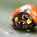 Marienkäfer III - schade,dass ich den Käfer nicht vorher abtrocknen konnte. :-)))