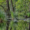 Sumpflandschaften auf Rügen III