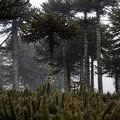 Araukarienwälder des Malalcalhuello NP II