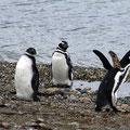Magellan-Pinguine