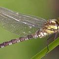 Die ersten Minuten im Leben einer Libelle VI