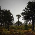 Araukarienwälder des Malalcalhuello NP I