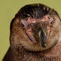 Humboldt-Pinguin