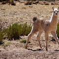 Nachwuchs bei den Lamas