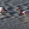 Flamingos an der Laguna Helionda I