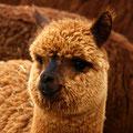 das Lama