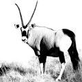 Oryx auf Wolwedans