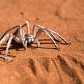 White dancing spider mit 8 Augen