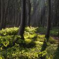 Geisterwald bei Nienhagen 11