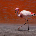 Flamingo an der Laguna Colorada I