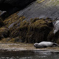 Robbe am Strand der Cullins