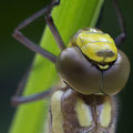 Die ersten Minuten im Leben einer Libelle V