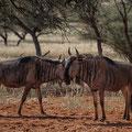 Gnus auf der Intu Afrika Zebra Lodge