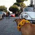 PITBULL VA AL MATRIMONIO DEI PADRONI A ROMA