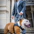 CANE BULLDOG AL MATRIMONIO A ROMA WEDDING DOG SITTER