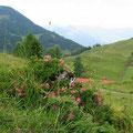 Alpenrosenblühen am Spitzstein