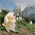 Schneerosenblühen im Kaisergebirge