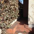 ヘデラがうっそうとした玄関前。実はこの中に木製ラティスが仕込まれています。これらをすべて撤去します。