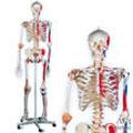 A13全身骨格模型