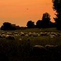 Schafe in Oberkassel