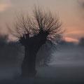 Kopfweide am frühen Morgen in der Urdenbacher Kaempe
