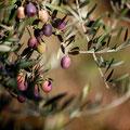 Branche olives violettes - Domaine Chante Coucou - La Bastidonne 84 - Luberon